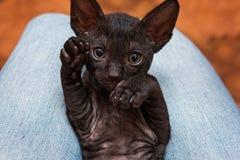 Kitten Cornish Rex Royalty Free Stock Photography