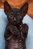 Kitten Cornish Rex Royalty Free Stock Image