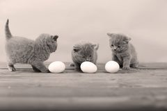 Kitten counting eggs. Dirty farm eggs and a British Shorthair kitten counting eggs Royalty Free Stock Photos