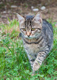 Kitten creeping Stock Image