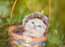 Kitten crowned with a chaplet of clover. Cute cream kitten crowned with a chaplet of clover in a basket Royalty Free Stock Photos
