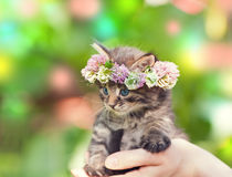 Kitten crowned with a chaplet of clover. Portrait of cute kitten crowned with a chaplet of clover in female hands Royalty Free Stock Image