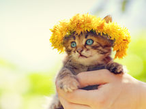 Kitten crowned with a chaplet of dandelion. Cute little kitten crowned with a chaplet of dandelion in female hands Royalty Free Stock Images