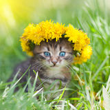 Kitten crowned with a chaplet of dandelion Stock Photos
