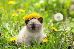 Kitten crowned chaplet from the dandelion. Little kitten crowned chaplet from the dandelion flowers Stock Photos