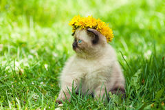 Kitten crowned dandelion chaplet Stock Images