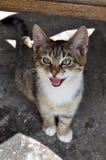 Kitten crying Stock Image