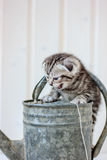 Kitten crying meow on metal water can.  Royalty Free Stock Image