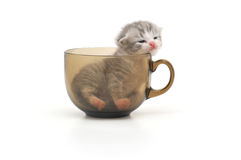 Kitten in cup Stock Image
