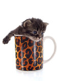 Kitten in cup Royalty Free Stock Photography
