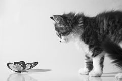 Kitten curious about butterfly. Cute furry kitten looking at butterfly with curiosity Stock Photo