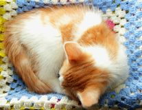 Kitten curled up and sleeping Stock Photography