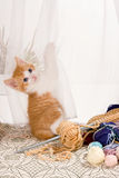 Kitten in the curtains. Six weeks old kitten hanging in the lace curtains Stock Photography