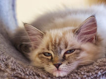 Kitten cute Royalty Free Stock Image