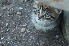 Mysterious look of a cute blue-eyed kitten. Kitten, cute, blue-eyed, angel, crumb, nyashka, beautiful, chic, look, mystery Royalty Free Stock Image