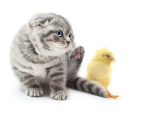 Kitten and cute little chicken Stock Image