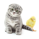 Kitten and cute little chicken Royalty Free Stock Photography