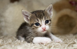 Kitten. Cute little kitten with pink nose and white mustache Royalty Free Stock Photography
