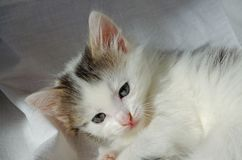 Kitten cute little white gray cheerful and naughty. royalty free stock photos