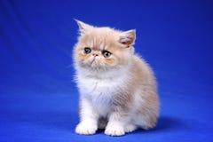 Kitten. Cute kitten photographed against blue background Stock Image