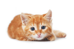 Kitten Royalty Free Stock Image