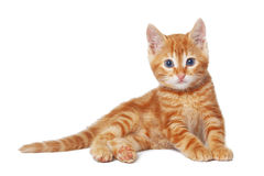 Kitten. Cute red baby kitten isolated on white background Stock Image