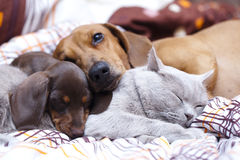 Kitten and  dachshund Royalty Free Stock Image