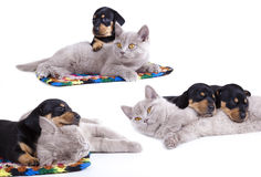kitten and  dachshund puppies Royalty Free Stock Image