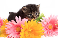Kitten and daisies Stock Image