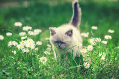 Kitten in the daisy flower lawn Royalty Free Stock Photography