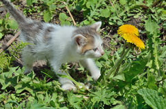 Kitten at dandelion 2 Royalty Free Stock Photography