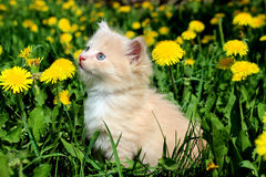 Kitten in dandelions. Fluffy red kitten sitting in the meadow with dandelions Royalty Free Stock Photo