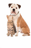 A kitten and dog on white Stock Photography