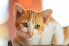 Kitten. The domestic cat is a small, usually furry, domesticated, and carnivorous mammal. It is often called the housecat when kept as an indoor pet,or simply Royalty Free Stock Photos