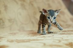 Kitten Don Sphynx kijkt in het kader royalty-vrije stock afbeelding