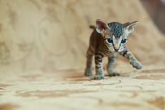 Kitten Don Sphynx olha no quadro imagem de stock royalty free