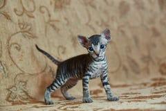 Kitten Don Sphynx ser i ramen royaltyfria foton