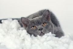 Kitten dreaming on the white blanket royalty free stock images