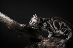Kitten on driftwood Royalty Free Stock Photography