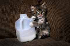 Kitten Drinking Milk From a Carton Dripping. Funny Kitten Drinking Milk From a Carton Dripping Stock Image