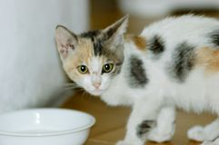 Kitten Drinking Milk. White, black and brown spotted kitten drinking milk in a little cup or bowl Stock Photos