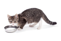 Kitten drinks milk Royalty Free Stock Photo
