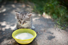 Kitten drinks milk Royalty Free Stock Image