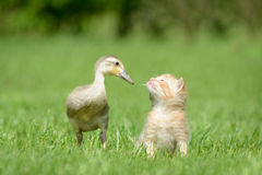Kitten and duck Stock Image