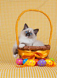 Kitten with Easter eggs basket. Ragdoll kitten sitting inside basket with easter eggs royalty free stock images