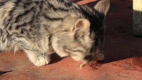 Kitten eat stock footage