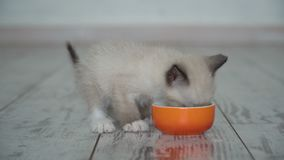 Kitten eat food from bowl. Cat eating stock footage