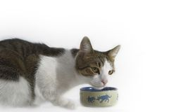 Kitten Eating Stock Image