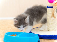 Kitten is eating dry food from a plate Royalty Free Stock Photos