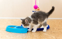 Kitten is eating dry food from a plate Stock Photos